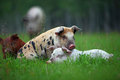 Piglets Royalty Free Stock Image - 51392986