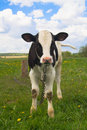 Cute Baby Cow Royalty Free Stock Images - 5149229