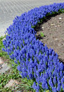 Blue Flowerbed Stock Image - 5149961