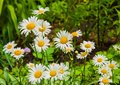 Camomiles Royalty Free Stock Image - 51441646