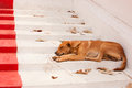 Brown Street Dogs Lying On The Stairs Of The Temple Royalty Free Stock Images - 51441799