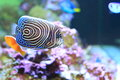 Emperor Angelfish Royalty Free Stock Photography - 51442517