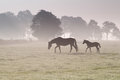 Horse Family Walk On Misty Pasture Royalty Free Stock Image - 51457196