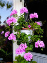 Geranium Flowers In Hanging Basket On A Balcony Stock Image - 51460971