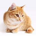 Red Cat Isolated On White Background Royalty Free Stock Photography - 51463087