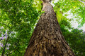 Tall Tree In Forest Stock Photo - 51471120