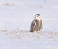 Snowy Owl Stock Images - 51471394