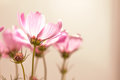 Closeup Soft Focus On The Cosmos Flowers Stock Image - 51476321
