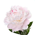 Delicate Pale Pink Peony Royalty Free Stock Photography - 51479937