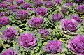 Red Cabbage Stock Image - 51499081