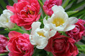 Close Up Of A Red And White Tulip Bouquet Royalty Free Stock Images - 51515189