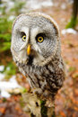 Great Grey Owl Royalty Free Stock Images - 51524839