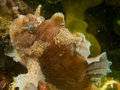 Spotfin Frogfish Royalty Free Stock Image - 51527036