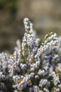 White Heather Royalty Free Stock Images - 51529339