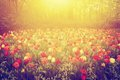 Colorful Tulip Flowers In The Garden On Sunny Day In Spring Royalty Free Stock Image - 51535296
