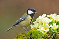 Great Tit Royalty Free Stock Images - 51535749