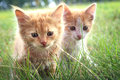 Kitten On Green Grass Royalty Free Stock Images - 51536419