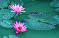 Beauty Water Lilly Flower.Pink Lotus. Stock Photos - 51541813