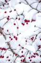 Snowed Hawthorn Berries Royalty Free Stock Photos - 51554948