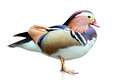 Mandarin Duck Royalty Free Stock Photo - 51560155