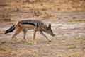 Black-backed Jackal Stock Photography - 51577972