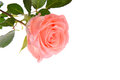 Pink Rose Stock Images - 51593924