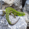Green Lizard Stock Images - 51594804