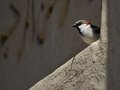 Little Bird Looking Out From A Wall Stock Image - 51597601