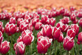 Red-white Tulips On A Field Royalty Free Stock Images - 5165139