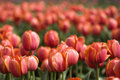 Red Tulips On Field Royalty Free Stock Photos - 5165258