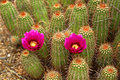 Blooming Cactus Stock Photography - 51608792