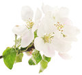 Apple Blossom Stock Images - 51621364