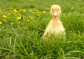 Little Duck Royalty Free Stock Images - 51621919