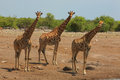 Herd Of Giraffes Royalty Free Stock Photography - 51629507