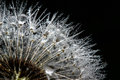 Dandelion With Droplets Stock Photos - 51635723