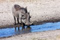 Desert Warthog, Phacochoerus Aethiopicus, Drinks Water From The Waterhole, Namibia Royalty Free Stock Image - 51660046