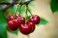 Cherry Stock Photos - 51661763