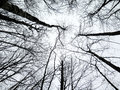 Abstract Of Birch Trees Reaching Up To The Sky In Winter Stock Photos - 51664613