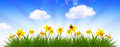 Blue Spring Sky And Yellow Daffodil. Stock Photography - 51676632