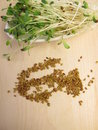 Red Clover Sprouts And Seeds Royalty Free Stock Photography - 51679767