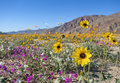 Wildflowers In Anza Borrego Desert Royalty Free Stock Images - 51697299