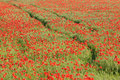 Corn Field With Red Poppies Royalty Free Stock Images - 5170729