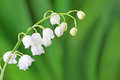Lily Of The Valley Stock Photo - 51700440