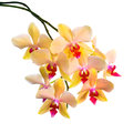 Blooming  Branch Of Orange Striped Orchid, Phalaenopsis Is Isola Stock Image - 51708071