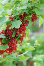 Red Currants Stock Photography - 51718862