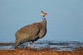 Helmeted Guineafowl Royalty Free Stock Photography - 51733227