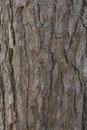 Pine Tree Bark Royalty Free Stock Photography - 51747707