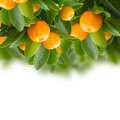 Tangerine Tree Royalty Free Stock Photos - 51751628