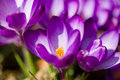 Macro Of First Spring Flowers In Garden Crocus Royalty Free Stock Photo - 51774075