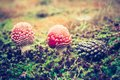 Vintage Photo Of Red Toadstool Royalty Free Stock Photos - 51777338